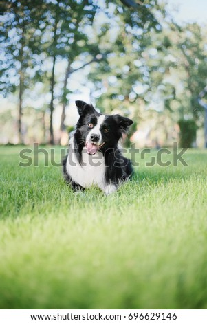 Border Collie Dog #696629146
