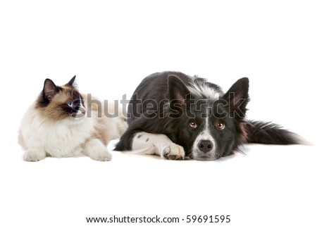 border collie dog and a long haired cat with blue eyes isolated on a white background