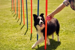 Border collie dog and a woman on an agility field