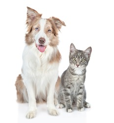 Border collie dog and kitten sit together and look at camera. isolated on white background