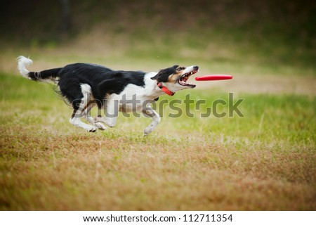 border collie dog catching disc in jump