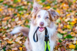 Border collie dog holds leash in it mouth and wait a walk in autumn park. Empty space for text