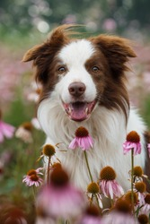 Border collie dog in a echinacea flower field