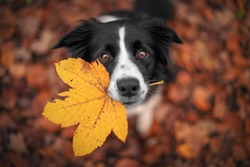Border Collie dog is holding a leaf with his mouth and looking from the down above.
