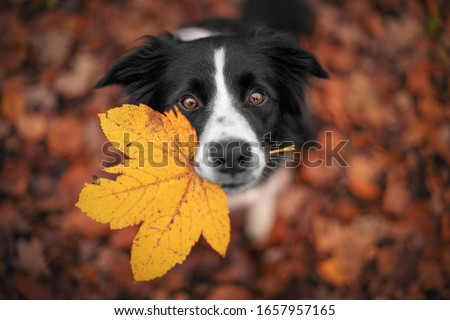 Border Collie dog is holding a leaf with his mouth and looking from the down above.  Stockfoto ©