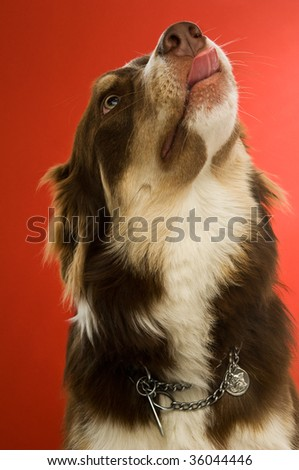 Border Collie dog isolated on a red background