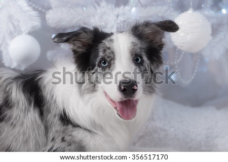 Border collie dog lying down on white Christmas lights with colorful bokeh sparkling lights in background looking hopeful wishful believing celebratory concerned
