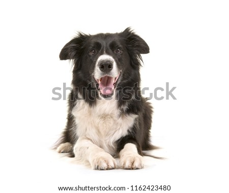 Border collie dog lying down with its head up looking at the camera isolated on a white background seen from the front