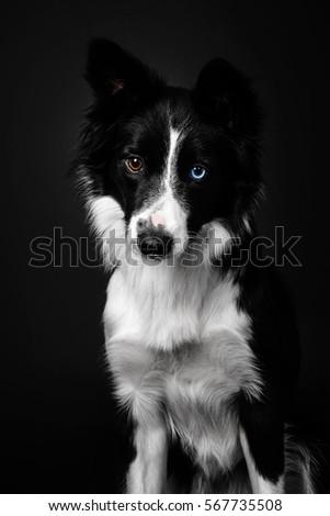 Border Collie dog on a black background #567735508
