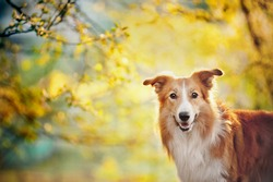 Border collie dog portrait on the spring sunshine background