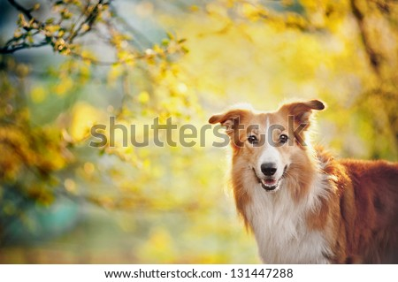 Border collie dog portrait on the spring sunshine background
