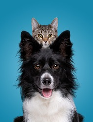 border collie dog portrait with a hiding cat behind in front of a blue background