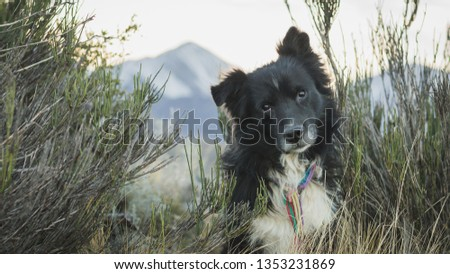 Border Collie dog poses for picture in the mountains