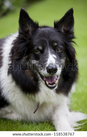 border collie dog sat in grass