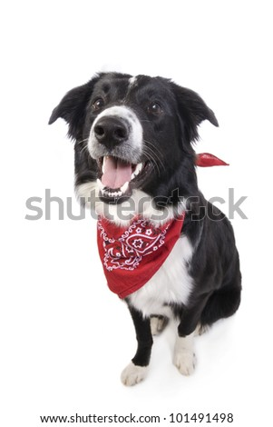 Border Collie Dog sitting wearing red bandana isolated on white background