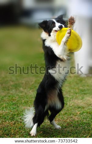 Border collie dog standing and holding a dish in mouth