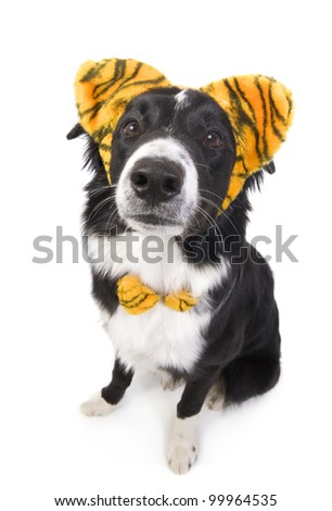 Border Collie Dog wearing tiger ears isolated on white background