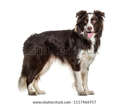 Border Collie dog, 2 years old, standing against white background