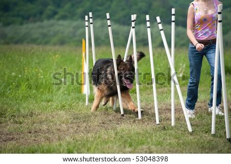 border collie doing slalom training at agility course
