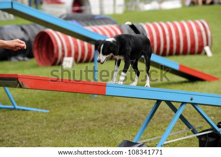 border collie during agility training - stock photo