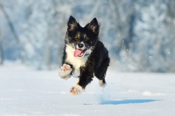 Border collie have fun in winter