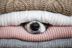 border collie hiding its nose in the woolen jumpers. cozy, home, clothes, cute, funny