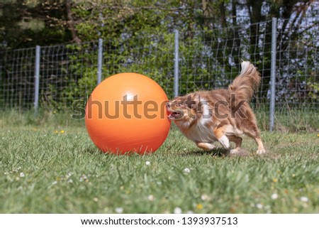 Border Collie hunts Treibball as a dog sport #1393937513