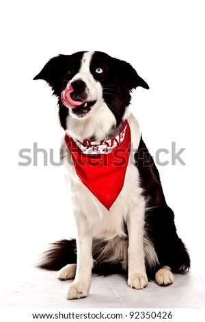 Border Collie in front of a white background with red banana on one blue eye one brown eye