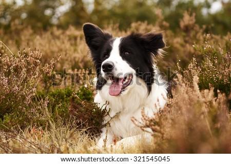 Border Collie in heather