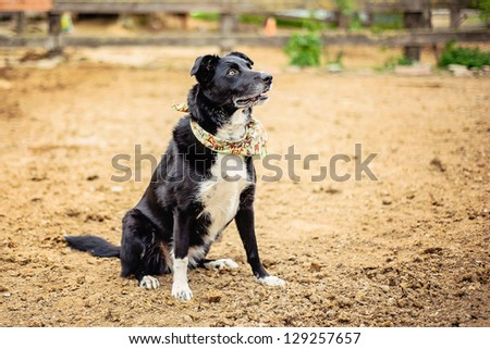 Border Collie in Paddock