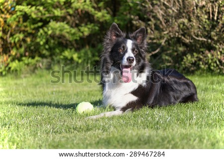 Border collie is lying on the lawn. Yellow ball (toy)  is lying in front of the dog. Dog is looking to the right of the camera.