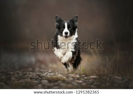 Border collie is running. Border collie on a rainy day.