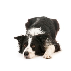 Border collie isolated over white background