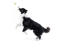 Border collie jumping to catch a ball