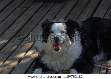 Border Collie laying on the deck at Pictured Rocks