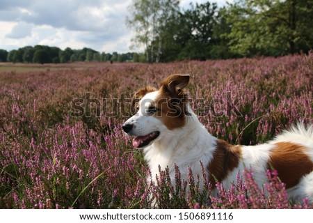 Border collie leila posing in the beautiful, flowering heather