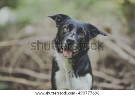 Border collie looking at camera #490777696