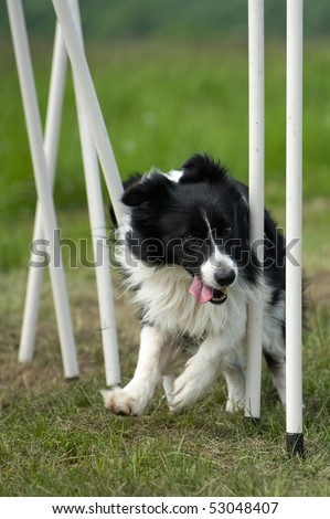 border collie on slalom training at agility course