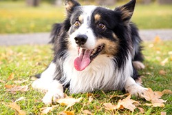 Border collie playing in the park. Dog on a walk.