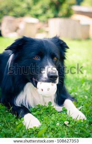 Border collie playing with a plastic ball