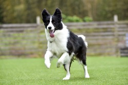 Border collie playing with dog run
