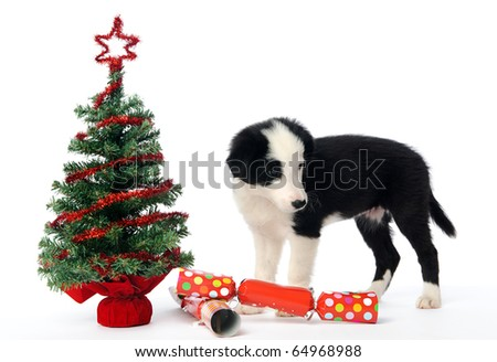 Border collie pup with christmas tree and crackers