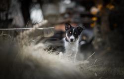 Border collie puppies in autumn