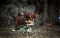 Border collie puppies in autumn