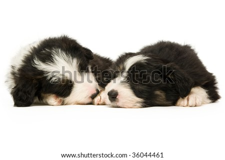 Border Collie puppies isolated on a white background while sleeping - stock photo