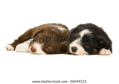 Border Collie puppies isolated on a white background while sleeping