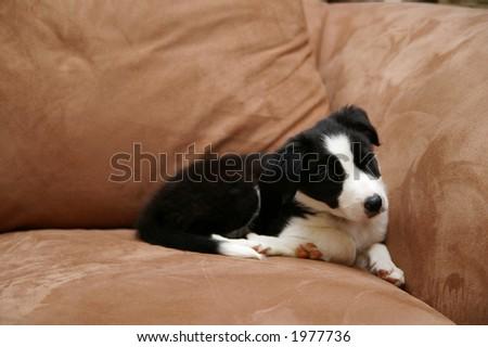 border collie puppies. stock photo : Border collie