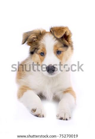 border collie puppy #75270019