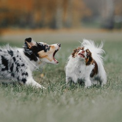 border collie puppy barking at a chihuahua dog