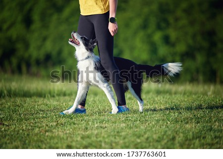 Border Collie puppy during obedience training outdoors, dog training school Сток-фото ©